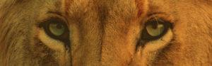 By Corentin Marzin Lion Eyes from Unsplash